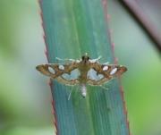 Bocchoris borbonensis Guillermet, 1996