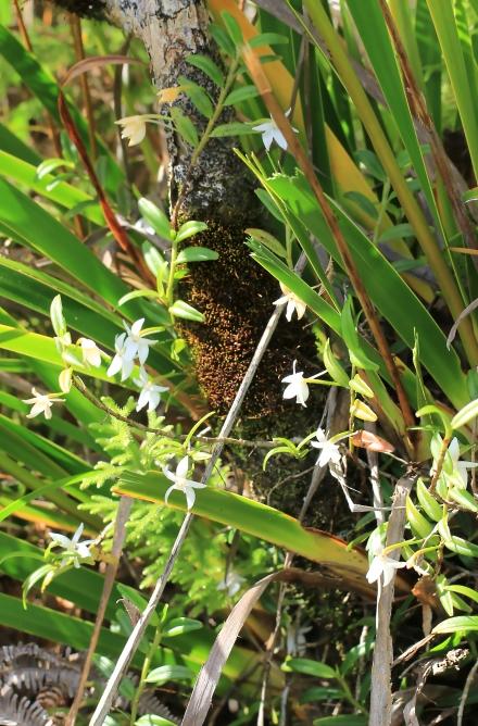 Orchidée à croissance monopodiale.