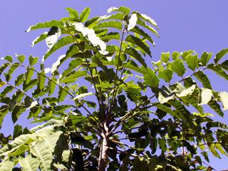 Espèce endémique de La Réunion.