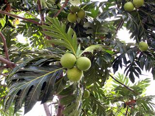 Espèce monoïque. Artocarpus altilis