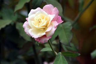 Fleur. Rose de Bourbon.