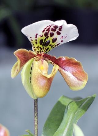 Fleur. Sabot de Vénus.