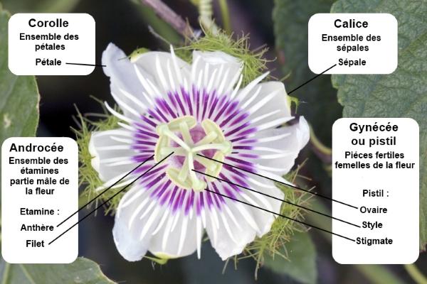 Fleur. Organisation générale de la fleur.
