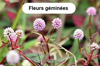 Fleurs géminées.