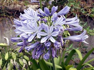 Inflorescence, ensemble de fleurs.