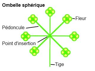 Ombelle sphérique.