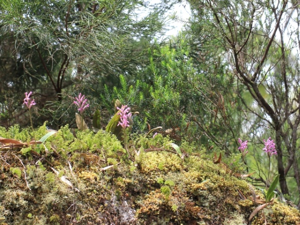 Orchidée Lithophyte.