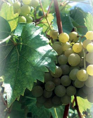 vigne raisins de Cilaos île de La Réunion