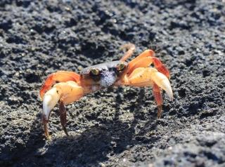 Crabe de La Réunion