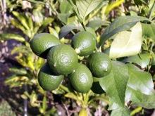 Citrus limon Eureka. Citronnier 4 Saisons.