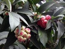 Jamalac - Syzygium samarangense.