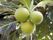 Artocarpus altilis (Parkinson) Fosberg. Fruits