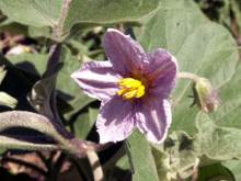 Fleur Aubergine ou bringelle - Solanum melongena.