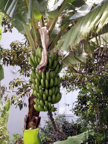 Bananier bananes