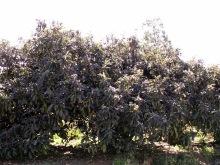 Néflier du Japon.  Eriobotrya japonica.