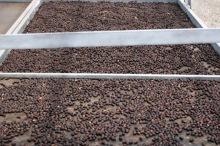 Séchage des graines de café Bourbon pointu.