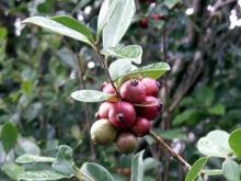 Goyavier fruit goyave.