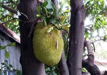 Jacquier et son fruit le Jacque.