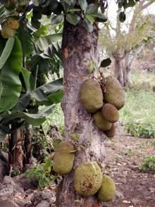 Artocarpus heterophyllus. Jacquier.