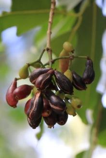 Jamblon. Syzygium cumini (L.) Skeels.
