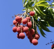 Fruits Litchi