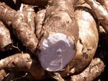 Racines de manioc.