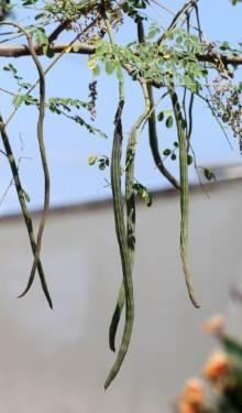 Mourongue Moringa oleifera Lam.