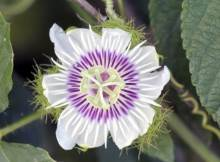 Fleur de Poc-poc.