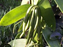 Vanille vanillier Vanilla planifolia Orchidée