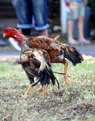 Coq bataille La Réunion