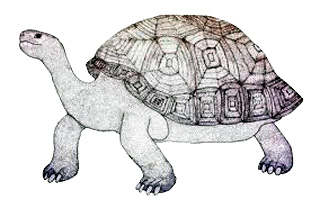 Cylindraspis indica Tortue terrestre