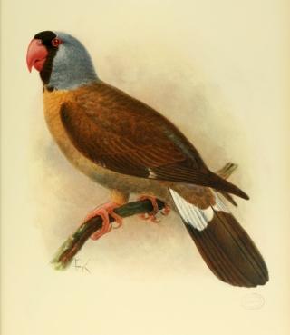 Mascarinus mascarin, Perroquet mascarin.