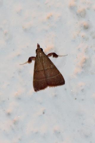 Parachma lequettealis (Guillermet, 2011).