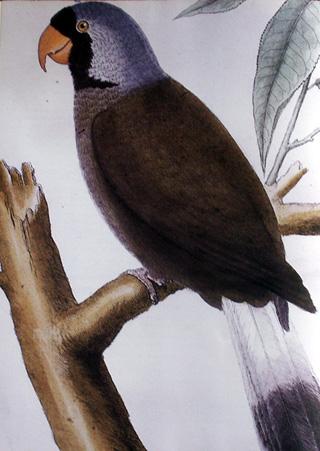 Perroquet mascarin. Mascarinus mascarin.