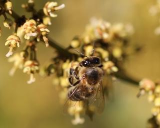 Apis mellifera unicolor. Abeille butinant des fleurs de litchi.