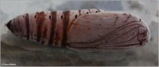 Chrysalide : Achaea oedipodina Mabille, 1879.