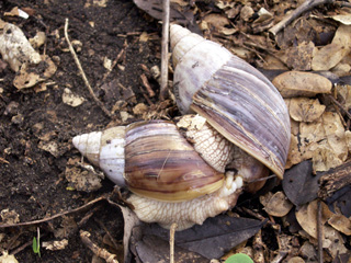 Accouplement : Escargot Achatine.