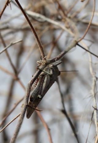 Anacridium melanorhodon arabafrum Dirsh & Uvarov, 1953.