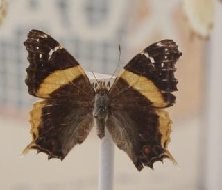 Antanartia borbonica borbonica (Hübner, 1821).
