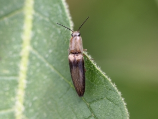 Aphanopenthes acutipennis (Germar, 1844).