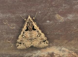 Arsina silenalis (Guenée, 1862).
