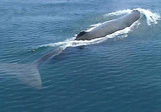 Baleine île de La Réunion.