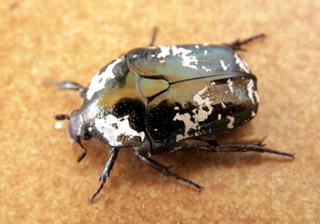 Bébête l'Argent Protaetia aurichalcea