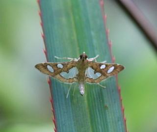 Bocchoris borbonensis Guillermet, 1996.