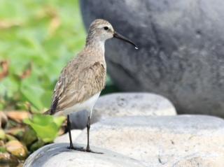 Calidris ferruginea. Bécasseau cocorli. Oiseau de La Réunion.