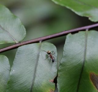 Camponotus re01.