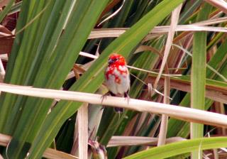 Cardinal. Foudi rouge. Foudia madagascariensis.