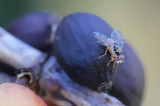 Mouche à fruit. Ceratitis capitata.