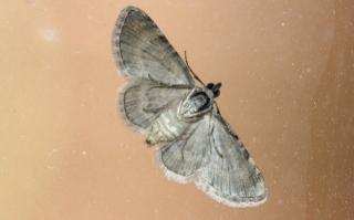 Chloroclystis derasata (Bastelberger, 1905).