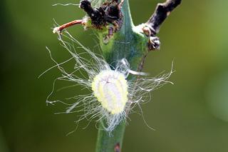 Paracoccus marginatus. Cochenille du papayer.